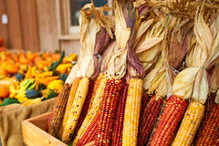 Bunches of indian corn Royalty Free Stock Images