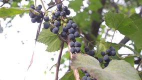 Bunches of juicy grapes Hanging in Vineyard. stock video footage