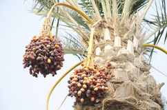 Bunches of khalal, rutab and tamr stage ripen date. Dates are fruits that have been a staple food of the Middle East Royalty Free Stock Photography