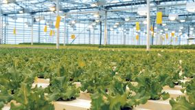 Bunches of lettuce, close up. Lettuce plants grow in a big greenhouse. Lettuce plants grow in a big greenhouse stock footage