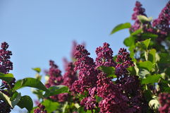 Bunches of lilac Royalty Free Stock Photos