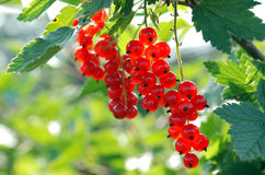 Bunches of mellow red currant Stock Photos