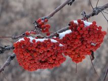 Bunches of red mountain ash Stock Photos