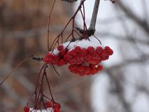 Bunches of red mountain ash Stock Photography