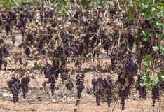 Bunches of Naturally Dried Red Seedless Grapes. Stock Photos