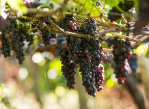 Free Bunches Of Tinta Negra Mole Grapes On Pergola In Estreito De Camara De Lobos On Madeira. Royalty Free Stock Image - 89794746