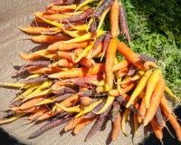 Bunches of Orange, Yellow and Purple Carrots Lying on Burlap Stock Image