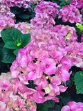 Pink Hydrangeas with green leaves. Bunches of pink Hydrangeas with green leaves, March 2018. Hydrangeaceae stock image