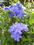 Bunches of plumbago Stock Photography