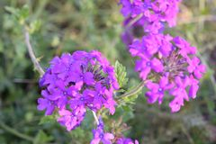 Bunches of purple flowers in a group. Setting Stock Images