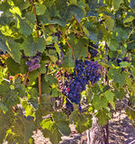 Bunches of Purple Grapes on a  Vine. Stock Photos