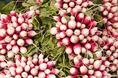 Bunches of radishes Royalty Free Stock Image
