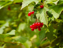 Bunches of red berries on Guelder rose Stock Photo
