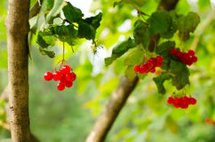 Bunches of red berries on Guelder rose Royalty Free Stock Image