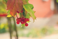 Bunches of red berries on Guelder rose Royalty Free Stock Photo