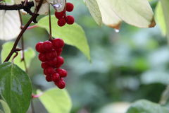 Bunches of red berries Schizandra grape green leaves Royalty Free Stock Images