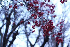 Bunches of red berries on a tree. Royalty Free Stock Photo
