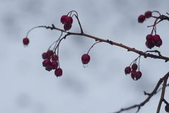 Bunches of red berries with water drops on it close up.  stock photography
