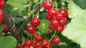 Bunches of red currants on the branch. Bunches of red currants on the bush branch stock video footage