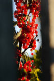 Bunches of red currants Stock Image