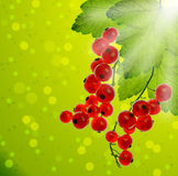 Bunches of red currants with leaves in the sunlight. Royalty Free Stock Image