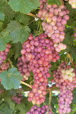 Bunches of Red Globe Grapes. Stock Image