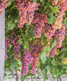 Bunches of Red Globe Table Grapes. Royalty Free Stock Photo