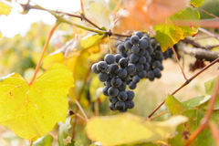 Bunches of Red Grape Royalty Free Stock Photos