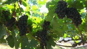 Bunches of red grapes fresh hanging in vineyard stock video