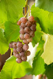 Bunches of red grapes on grapevine. Selective focus. Stock Photo