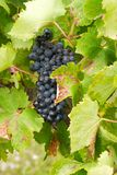 Bunches of red grapes growing in the vineyard. Bunches of red grapes growing in a vineyard in the green leaves Stock Photography