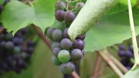 Bunches of red grapes hanging in a vineyard. Close-up. stock footage