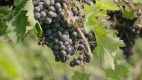 Bunches of red Grapes Hanging in Vineyard stock video footage