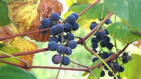 Bunches of red Grapes Hanging in Vineyard. Rows of pinot noir grapes ready to be picked in vineyard at sunrise stock video footage