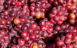 Ripe grapes of red variety stock image