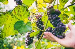 Bunches of red grapes. Ripening bunches of red grapes in farmer hand Royalty Free Stock Photo