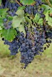Bunches of red grapes Royalty Free Stock Photography