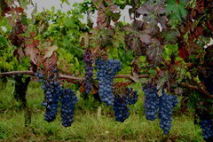 Bunches of red grapes Royalty Free Stock Image