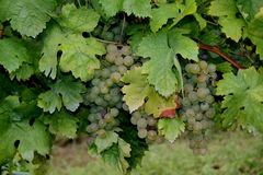 Bunches of red grapes Stock Photo