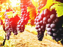 Bunches of red grapes on vine. In warm light Stock Image