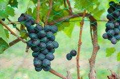 Bunches of red grapes on the vines Stock Photo