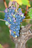 Bunches of red grapes on the vines Royalty Free Stock Photos