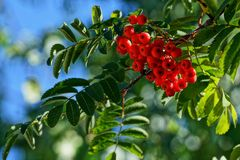 Bunches of red mountain ash on a branch with green leaves. Ripe berries on a background of green vegetation Royalty Free Stock Photo
