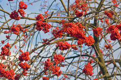 Bunches of rowan Stock Image
