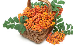 Bunches of red mountain ash in a wicker basket on a white backgr Royalty Free Stock Images