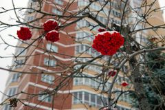 Bunches of red rowan on a background of a modern building royalty free stock photography