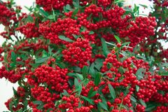 Bunches of red rowan. Beautiful bush of red rowan with green leaves on a light background Royalty Free Stock Images
