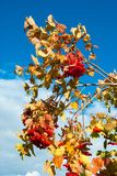 Bunches of red berries on tree branches stock image