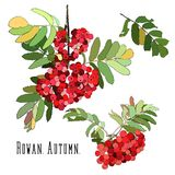 Bunches of red rowan. Hand drawn in color Royalty Free Stock Photography
