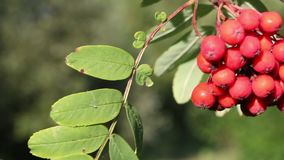 Bunches of red rowan on the trees. Swaying from the wind. Visible tree leaves. The background is blurry stock video